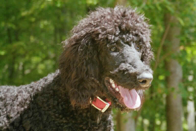 Toby the Poodle /Pittsfield - Northwood - NH